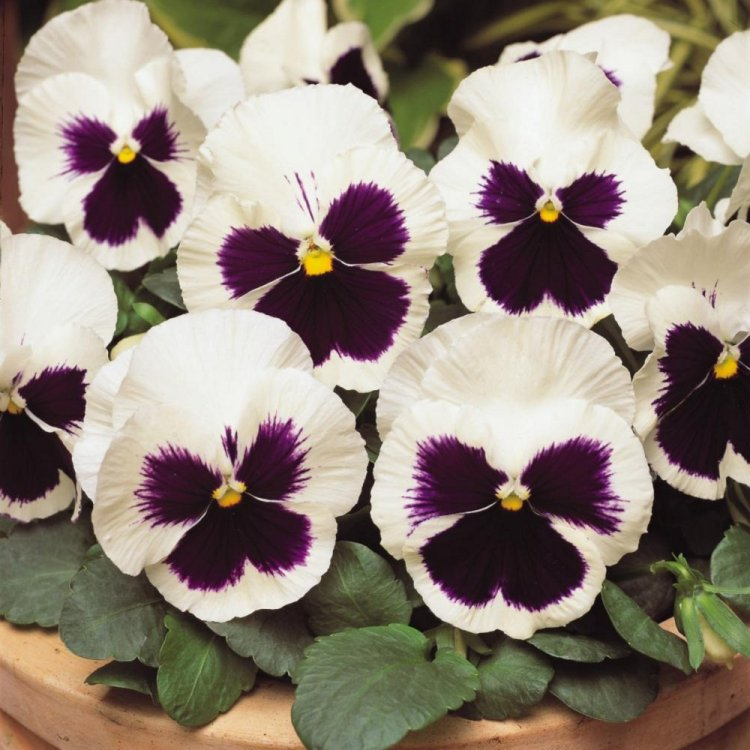 Виола Сильвербрайт, семена цветов, Legutko, Польша