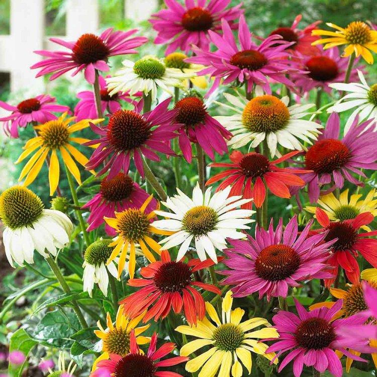 Эхинацея, смесь, семена цветов, Украина