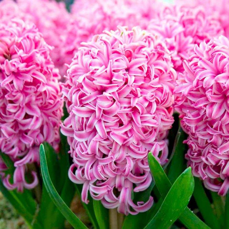 Гиацинт Пинк Перл, семена цветов, Legutko, Польша.
