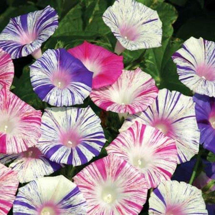 Ипомея пурпурная Арлекин, семена цветов, Legutko, Польша.