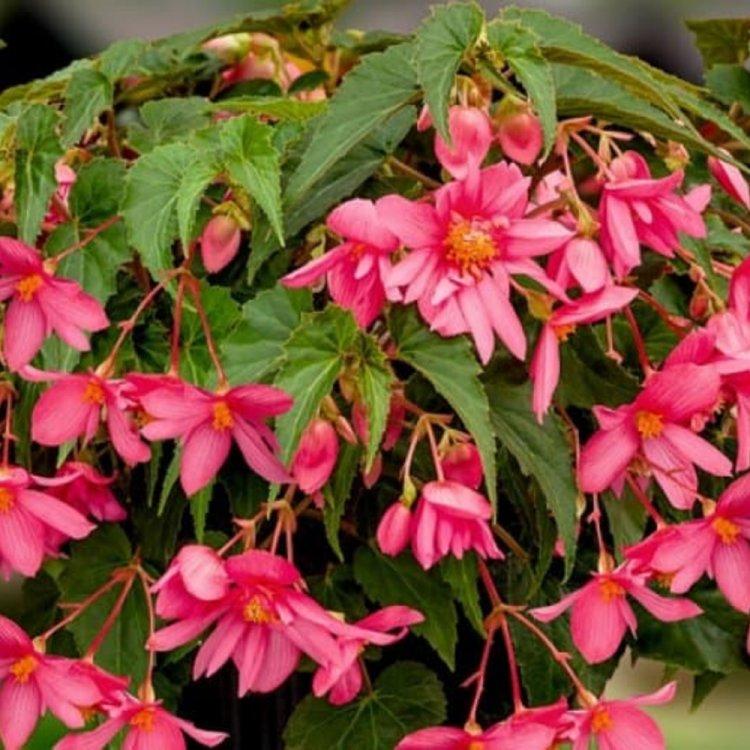 Бегония Шансон ампельная розовая, семена цветов, Legutko, Польша