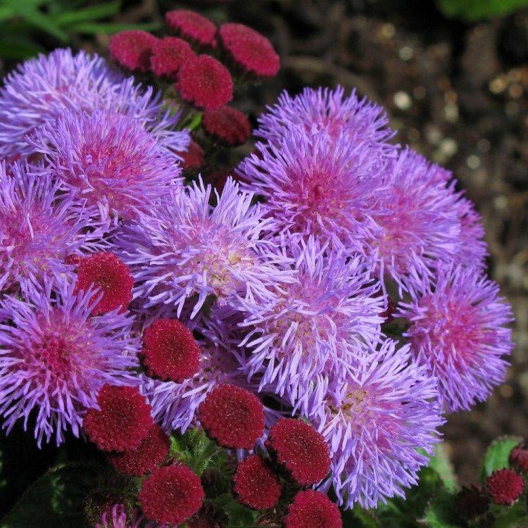 Агератум Хоустона смесь, семена цветов, Legutko, Польша.