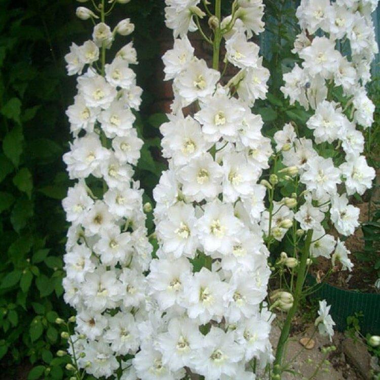 Дельфиниум многолетний Галлахад, семена цветов, Legutko, Польша