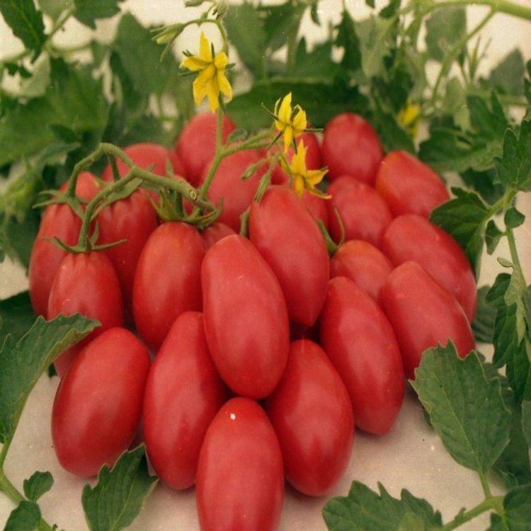 Томат Кмициц, ранний, семена, 5 грамм, Legutko, Польша