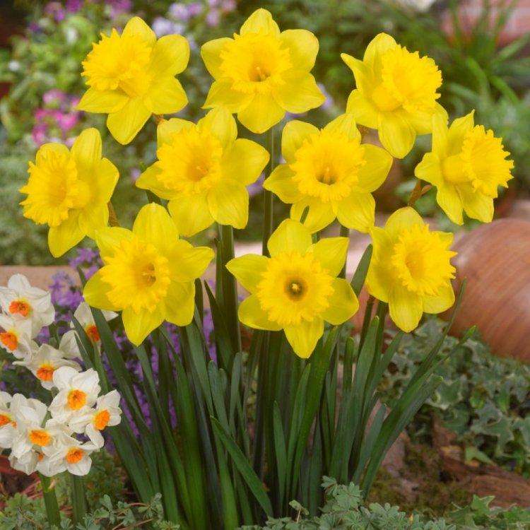 Нарцис трубчастый Дач Мастер, луковицы цветов, Legutko, Польша