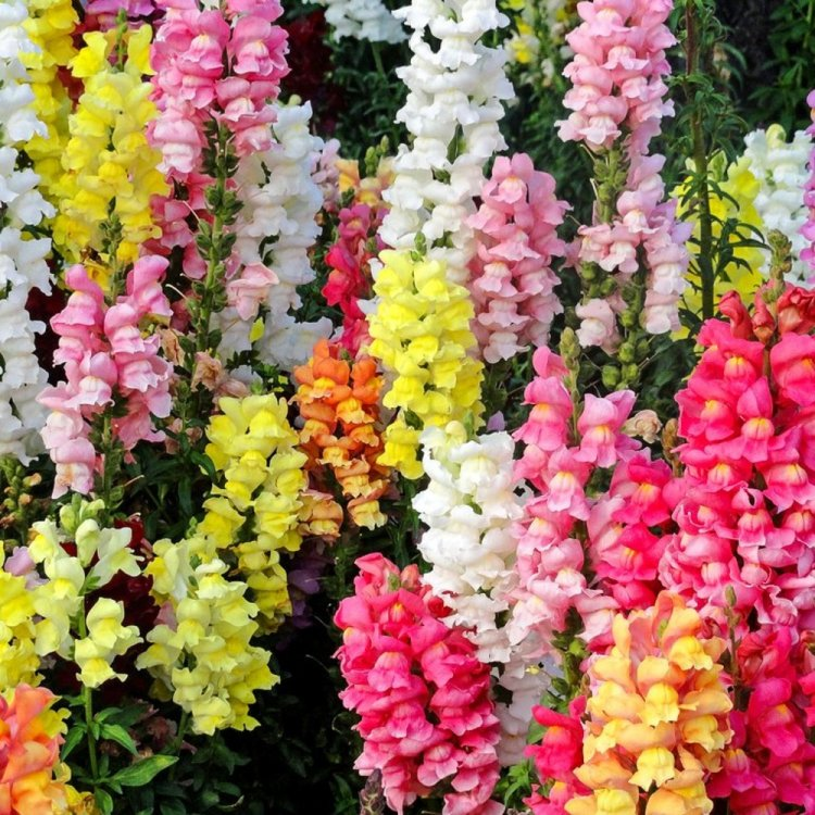 Антирринум Маджестик, семена цветов, Legutko, Польша.