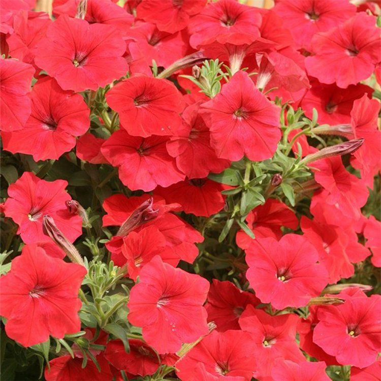 Петуния Лавина красная, семена цветов, Cerny, Чехия