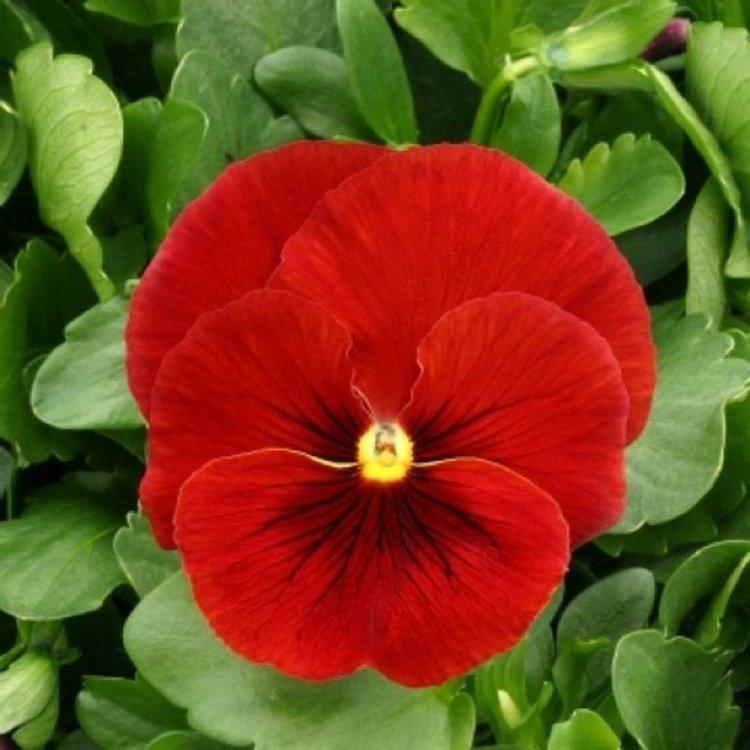 Виола Суприм скарлет, семена цветов, Legutko, Польша