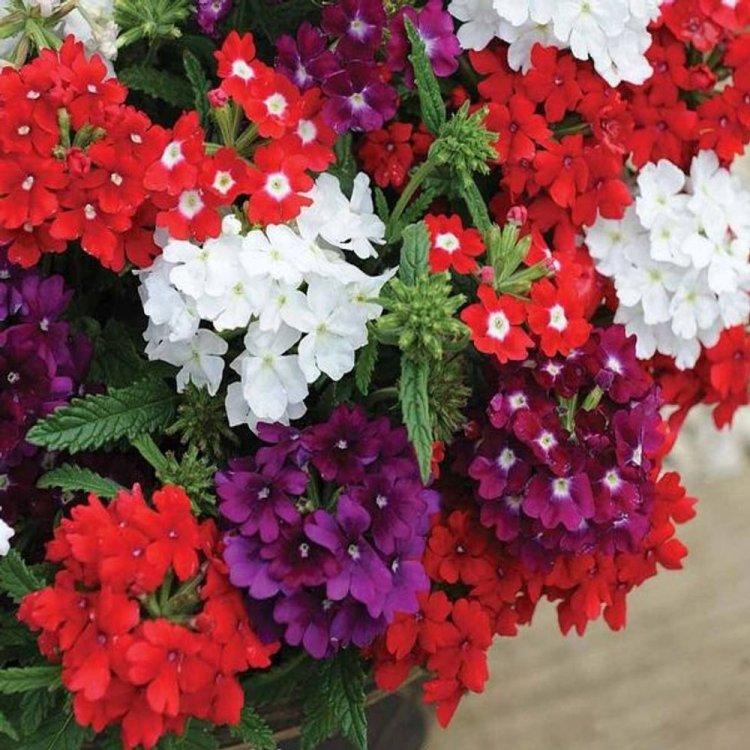 Вербена ампельная, семена цветов, Legutko, Польша