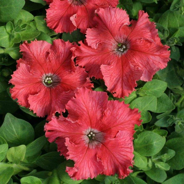Петуния Афродита лососевая, семена цветов, Cerny, Чехия