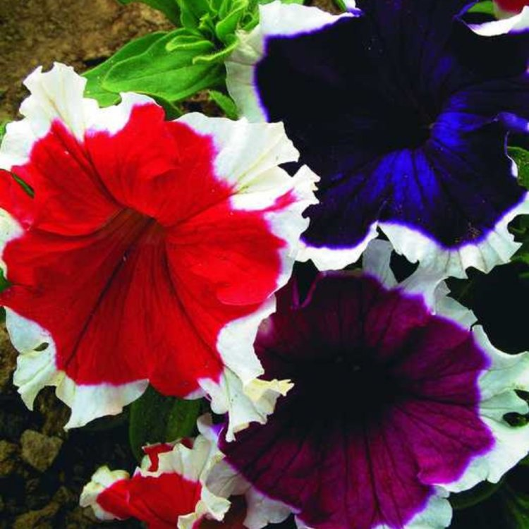 Петуния Цветное кружево, семена цветов, Cerny, Чехия
