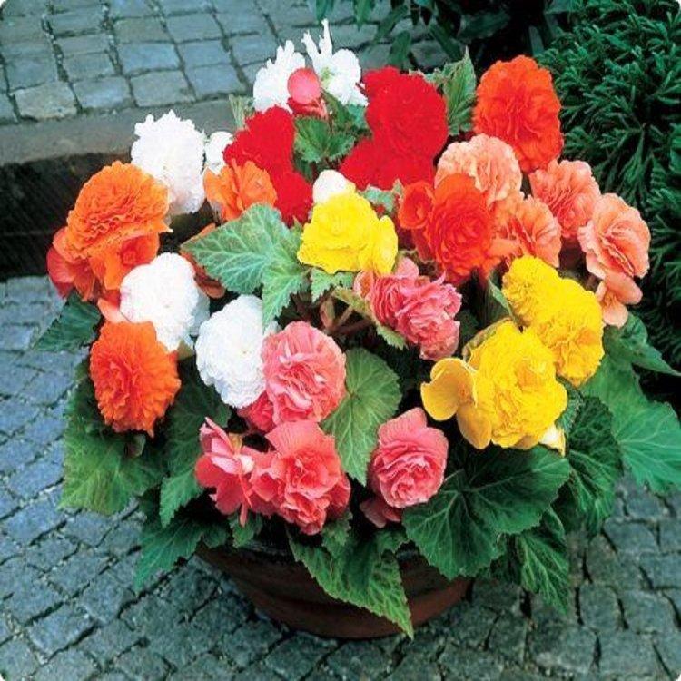 Бегония Фортуна смесь, семена цветов, Legutko, Польша