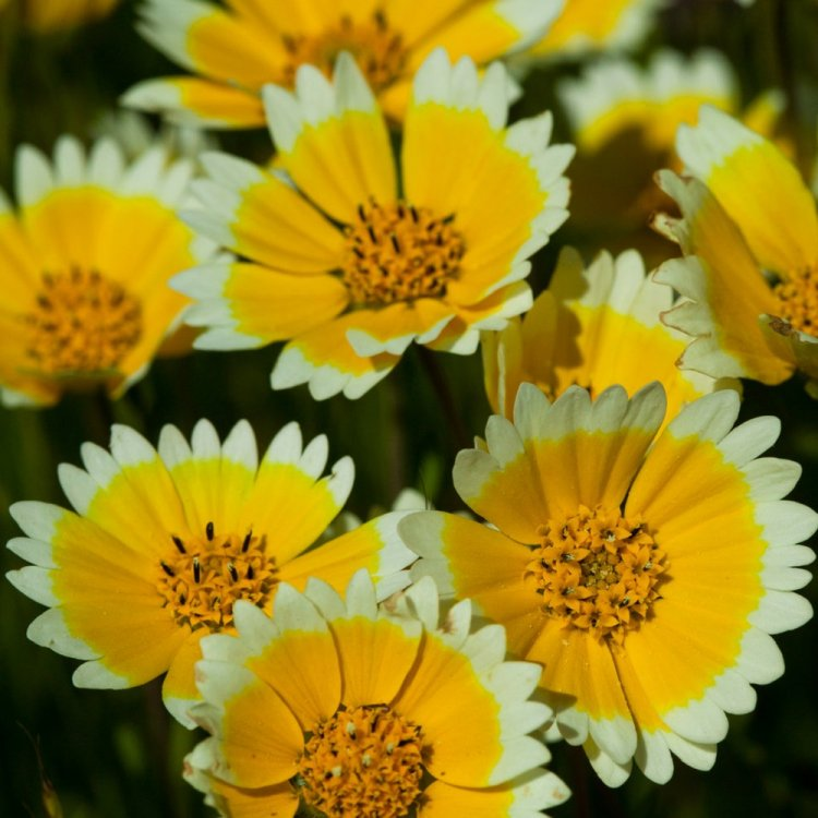 Лейя изящная, семена цветов, Legutko, Польша.