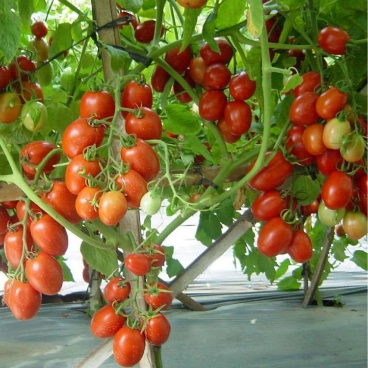 Томат Намиб, сливка, ранний, семена, 10 штук, Syngenta, Голландия