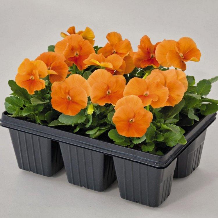 Виола Оранж Сан, семена цветов, Legutko, Польша