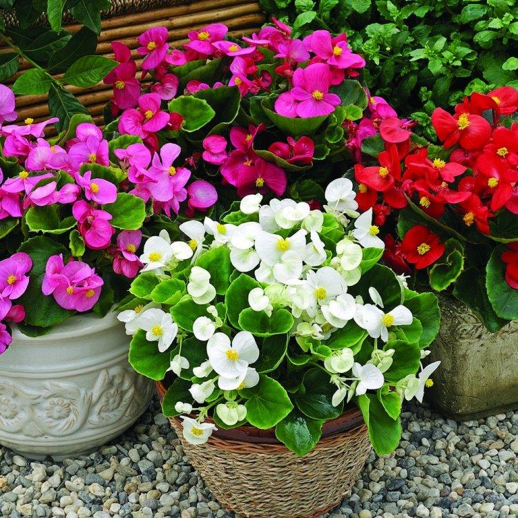 Бегония вечноцветущая смесь, семена цветов, Legutko, Польша