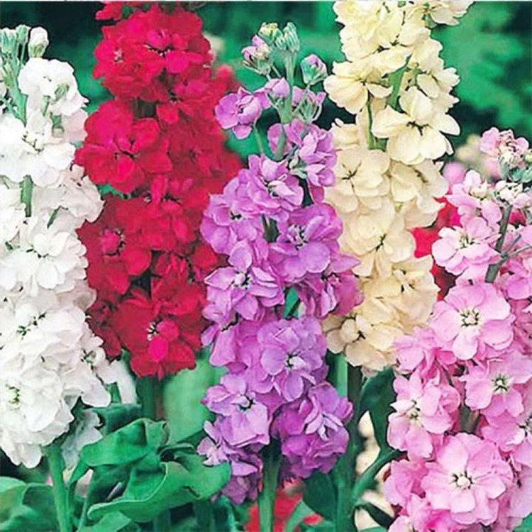 Маттиола Ассорти, смесь, семена цветов, Legutko, Польша.