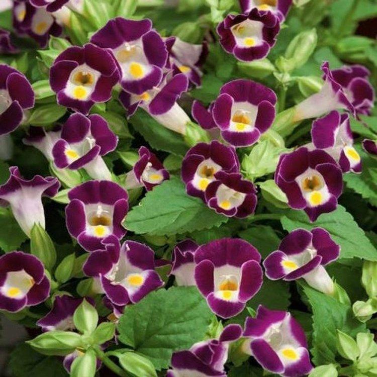 Торения «Нежный поцелуй» бургунди, семена цветов, Legutko, Польша