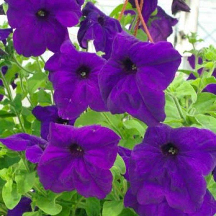 Петуния насыщенно-синяя, семена цветов, Legutko, Польша.