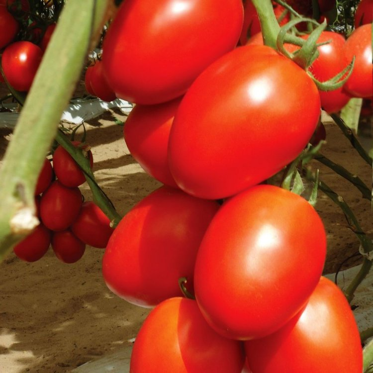 Томат Гранадеро, сливка, ранний, семена, 10 штук, Enza Zaden, Голландия