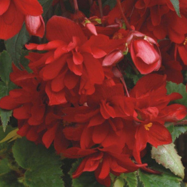 Бегония Шансон ампельная ярко-красная, семена цветов, Legutko, Польша