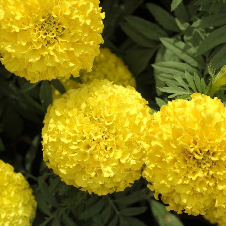 Бархатцы Дискавери желтые, семена цветов, Cerny, Чехия