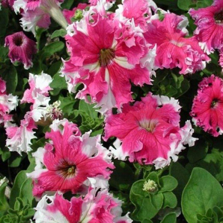 Петуния Каркулка, семена цветов, Cerny, Чехия