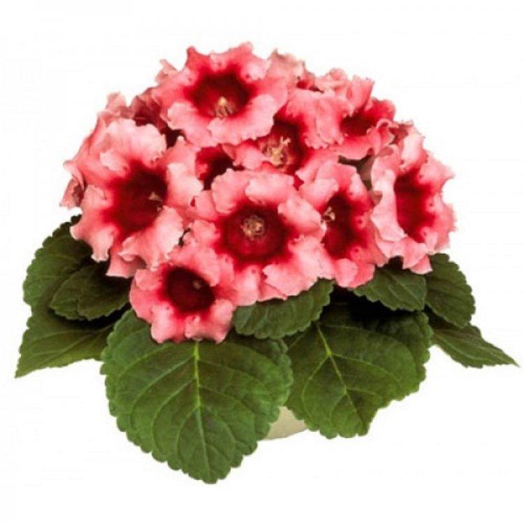 Глоксиния Аванти персиково-розовая, семена цветов, Legutko, Польша