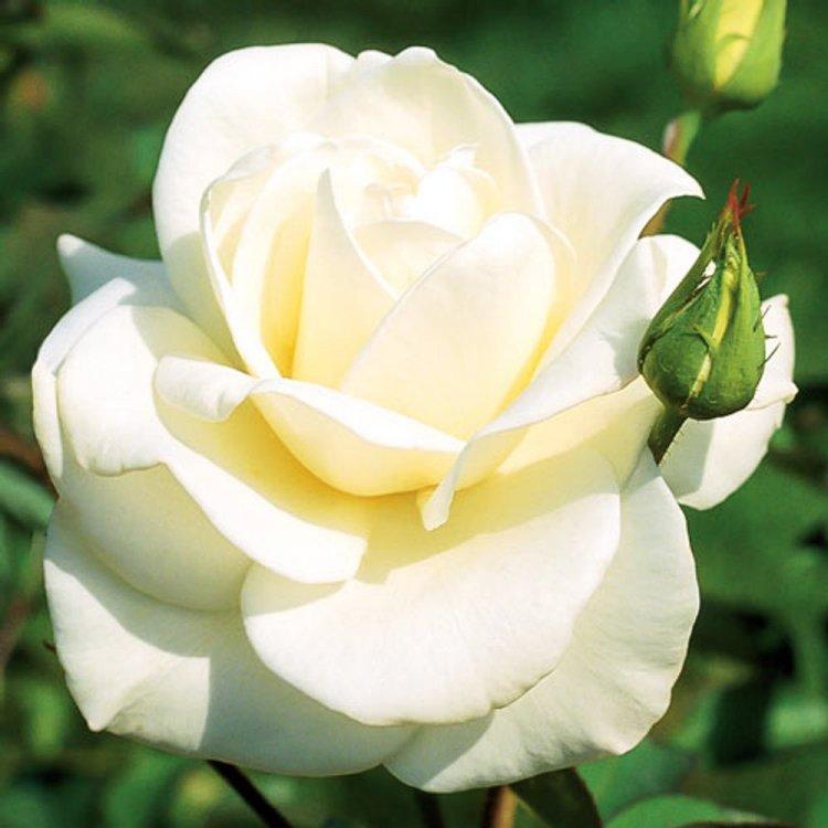 """Роза чайно-гибридная сорт """"Паскали"""" белая"""