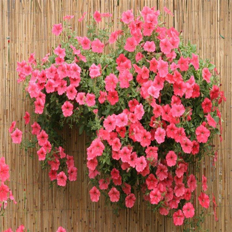 Петуния Лавина розовая, семена цветов, Cerny, Чехия