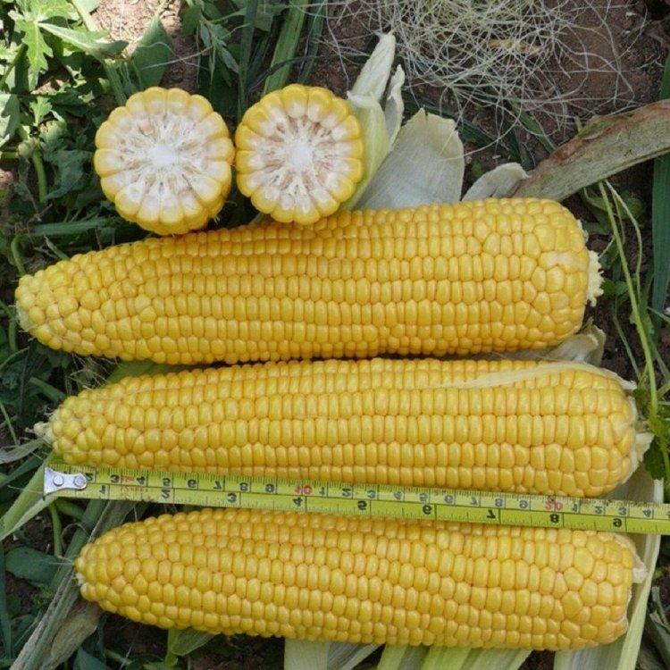 Кукуруза сахарная, сорт Леженд, Clause, Франция.