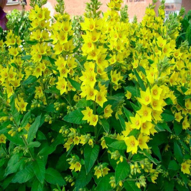 Вербейник, семена растений, Украина