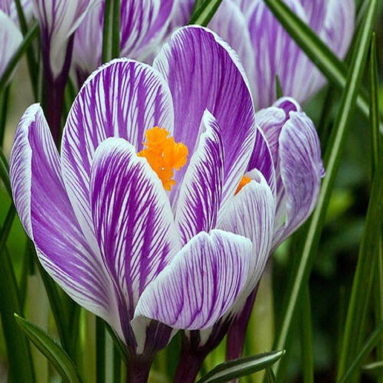 Крокус крупноцветковый Пиквик, семена цветов, Legutko, Польша