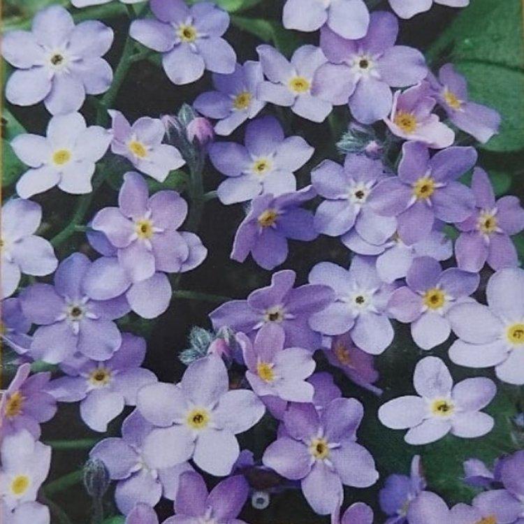 Незабудка Белая с голубым, семена цветов, Legutko, Польша.
