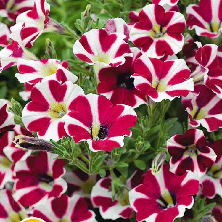 Петуния Лавина пурпурная звезда, семена цветов, Cerny, Чехия