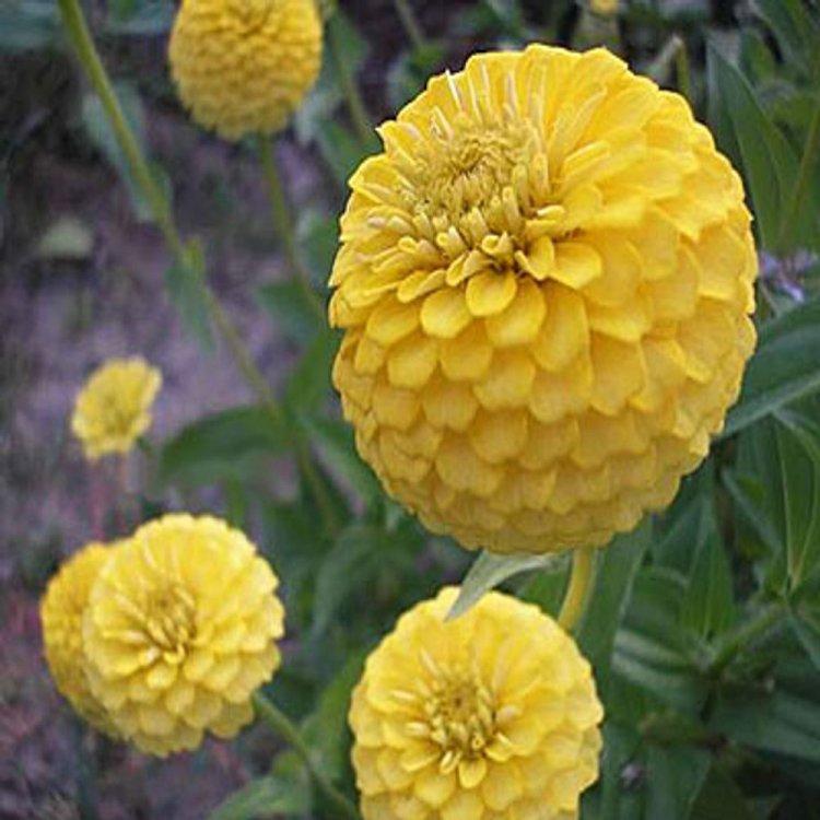 Цинния Лилипутик желтая, семена цветов, Legutko, Польша