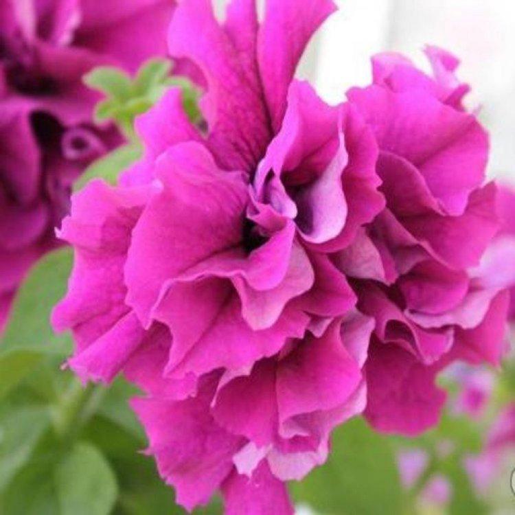 Петуния Акварель розовая, семена цветов, Legutko, Польша.