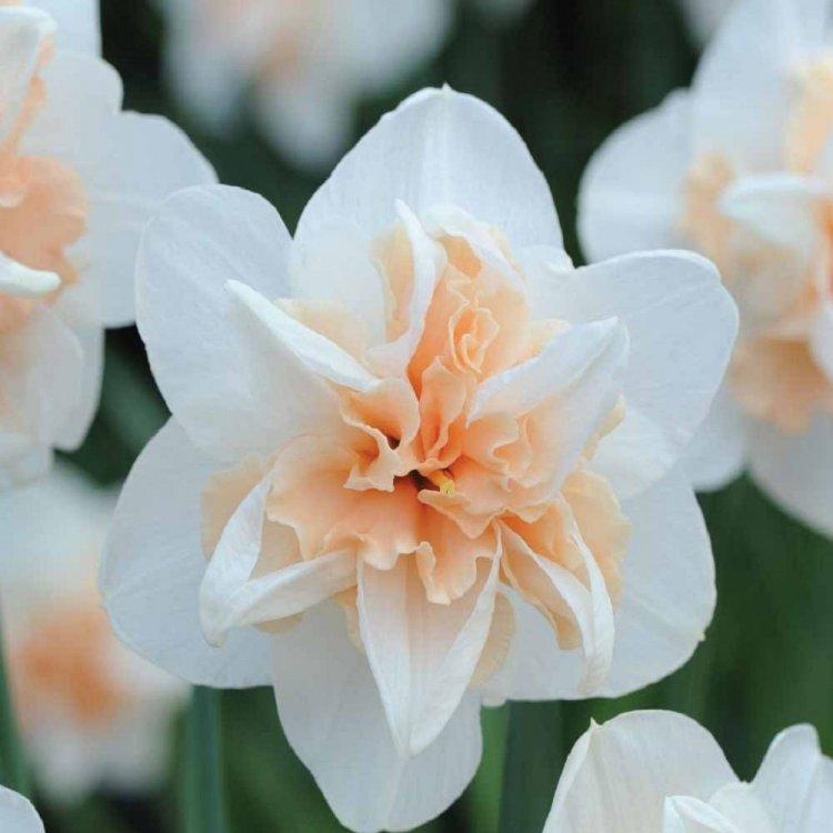 Нарцис полный Реплит, луковицы цветов, Legutko, Польша
