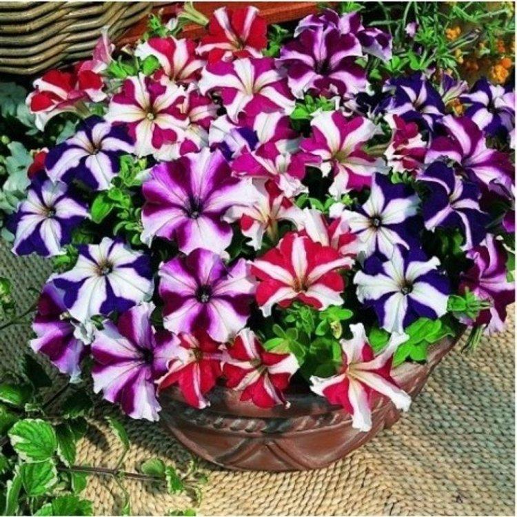 Петуния Звезда, семена цветов, Cerny, Чехия
