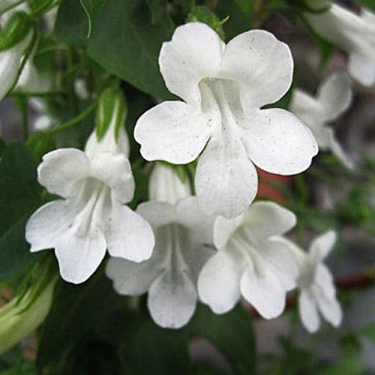 Азарина Лазающая, семена цветов, Legutko, Польша