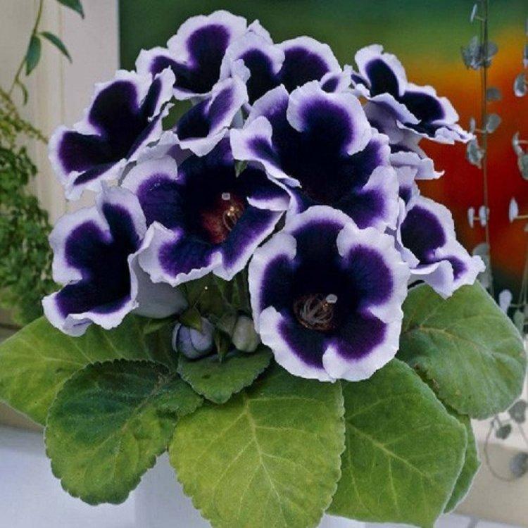 Глоксиния Аванти синяя с белым, семена цветов, Legutko, Польша