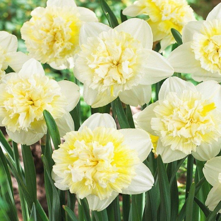 Нарцис полный Айс Кинг, луковицы цветов, 3 шт.