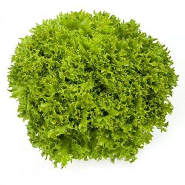 Салат листовой зеленый Экспедишн, Rijk Zwaan, Голландия