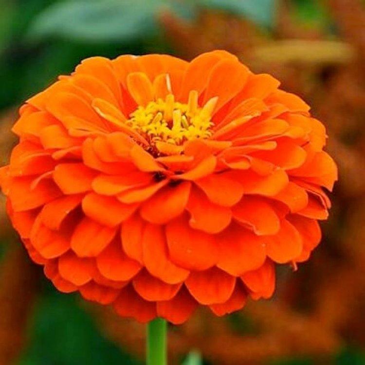 Цинния Лилипутик оранжевая, семена цветов, Legutko, Польша