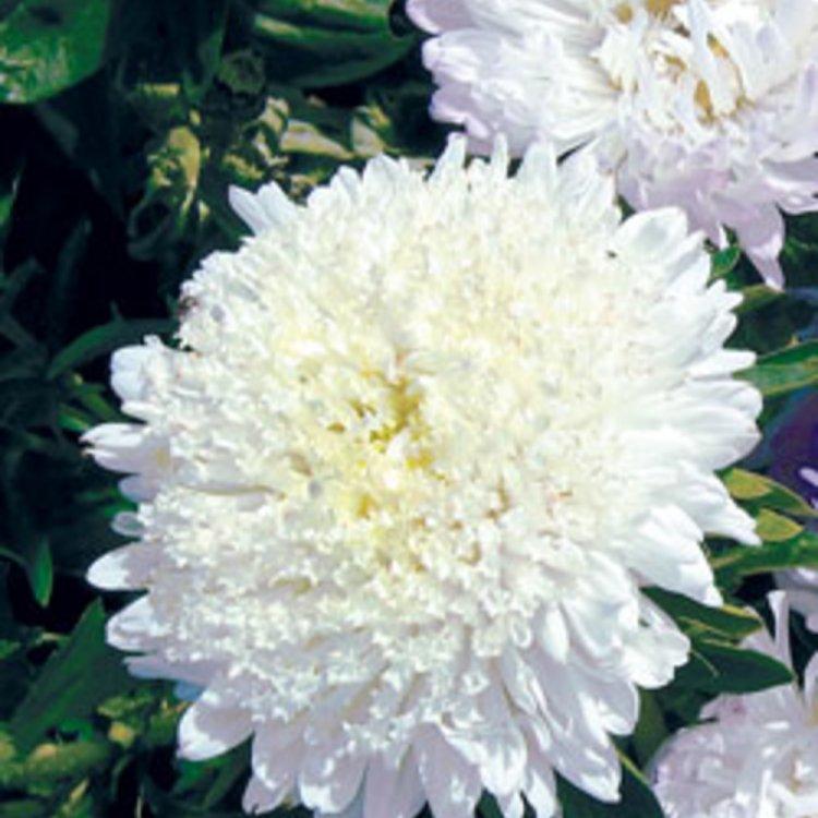 Астра Принцесса белая, семена цветов, Legutko, Польша.
