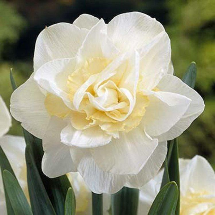 Нарцис полный Уайт Лайон, луковицы цветов, Legutko, Польша