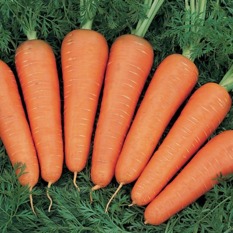 Морковь тип Шантане, Канада, Bejo Zaden, Голландия