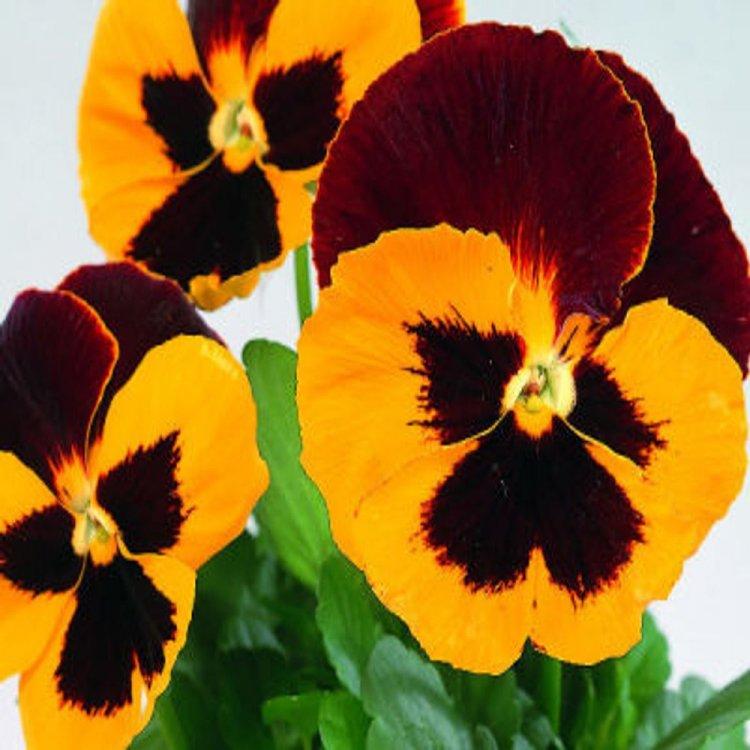 Виола Динамит красная с желтым, семена цветов, Legutko, Польша