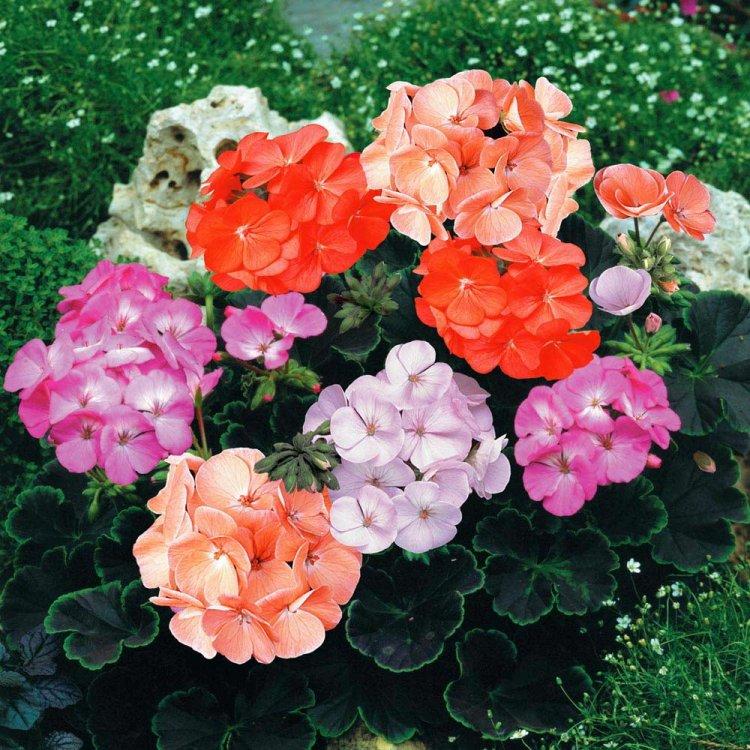 Пеларгония садовая Карнавал, смесь, семена, 20 штук, Legutko, Польша