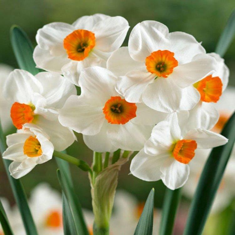 Нарцис многоцветковый Гераниум, луковицы цветов, Legutko, Польша